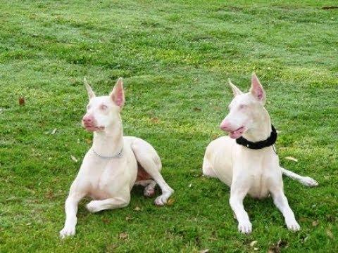 Доберман-альбинос — хороший друг или неудачный эксперимент