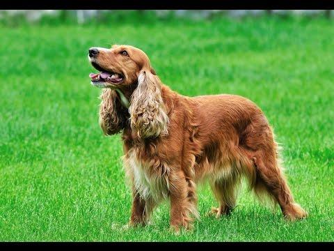 Голубая кровь — английские породы собак