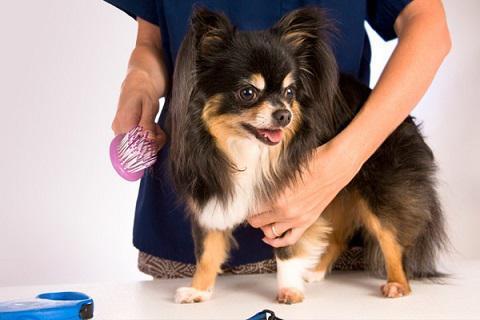 Готовим собаку к выставке