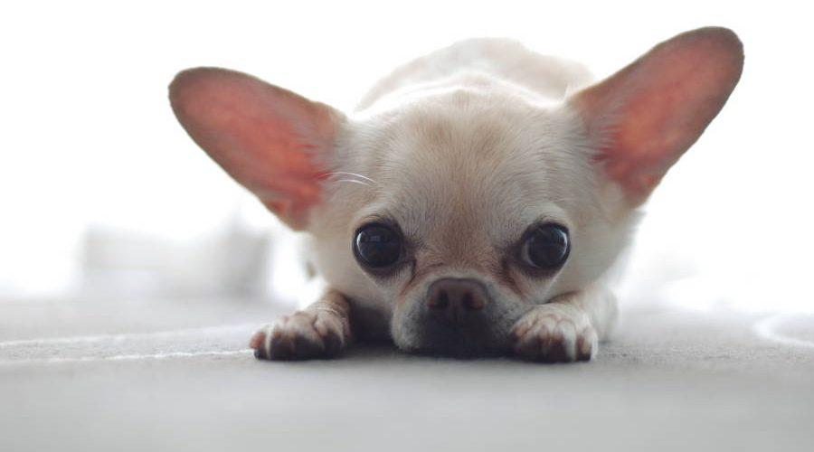 Характеристики породы самых маленьких собак