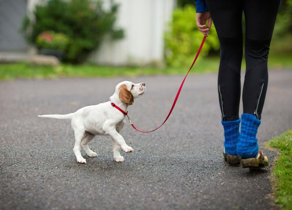 Как и когда можно начинать гулять со щенком