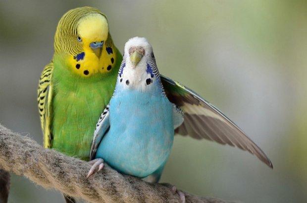 Как обучать попугаев и как лучше назвать попугая-мальчика