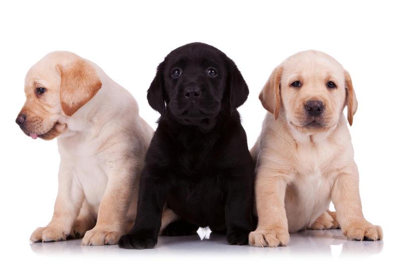 Как правильно выбирать щенка из помета