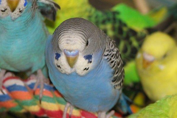 Как узнать возраст вашего волнистого попугая