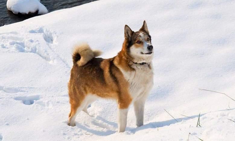 Как выбрать кличку собаке-кобелю лайки