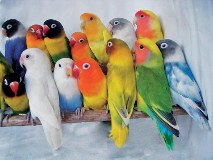 Какие бывают виды домашних попугаев