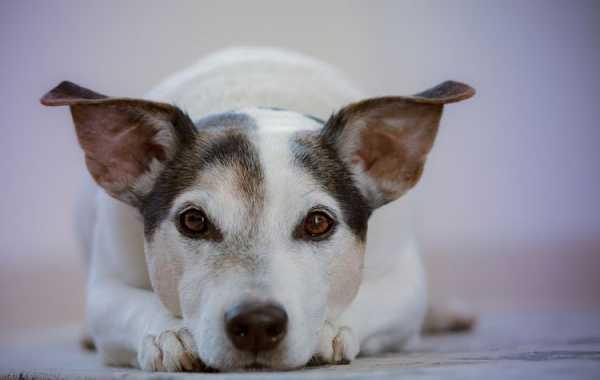 Какие обезболивающие препараты можно давать собаке