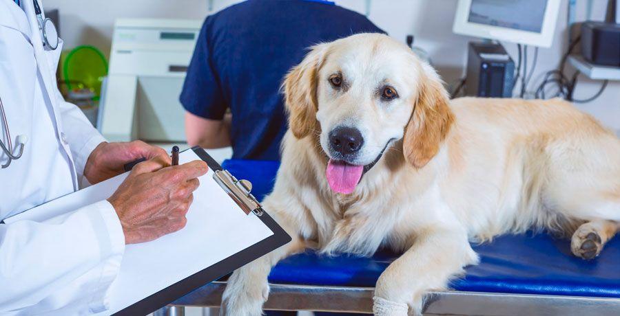 Лечение и симптомы пироплазмоза у собак