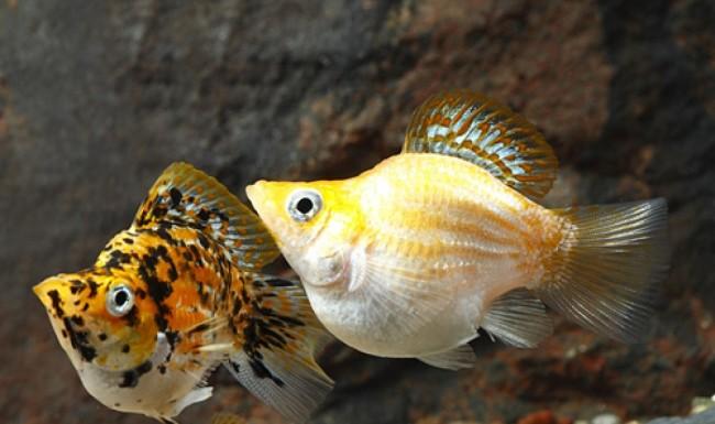 Моллинезия баллон — описание рыбки, содержание и уход