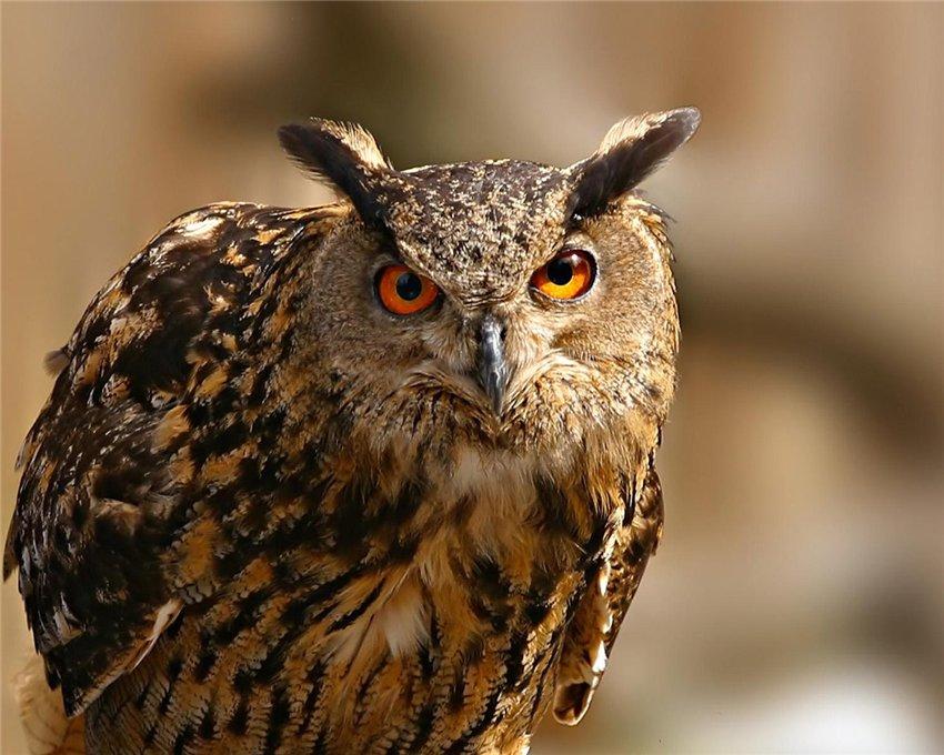 Ночные птицы. Виды хищных ночных птиц. Совы