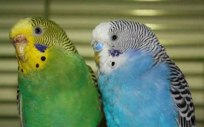 Особенности пения волнистых попугаев: не только чириканье