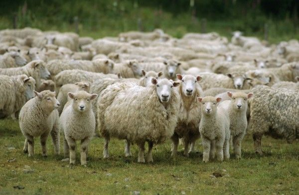Овцеводство — способ хорошо заработать