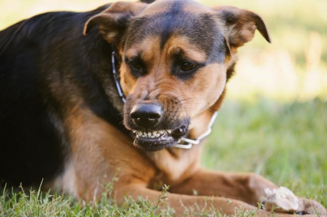Первые симптомы бешенства у собак. Передается ли бешенство?