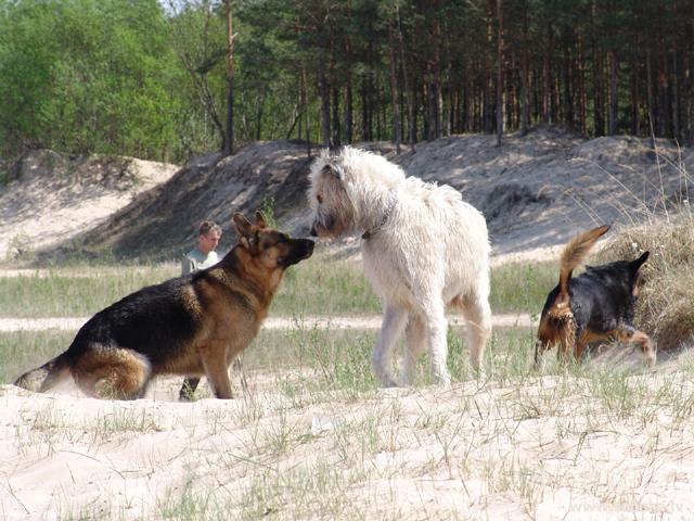 Победит ли собака в бою против волка?