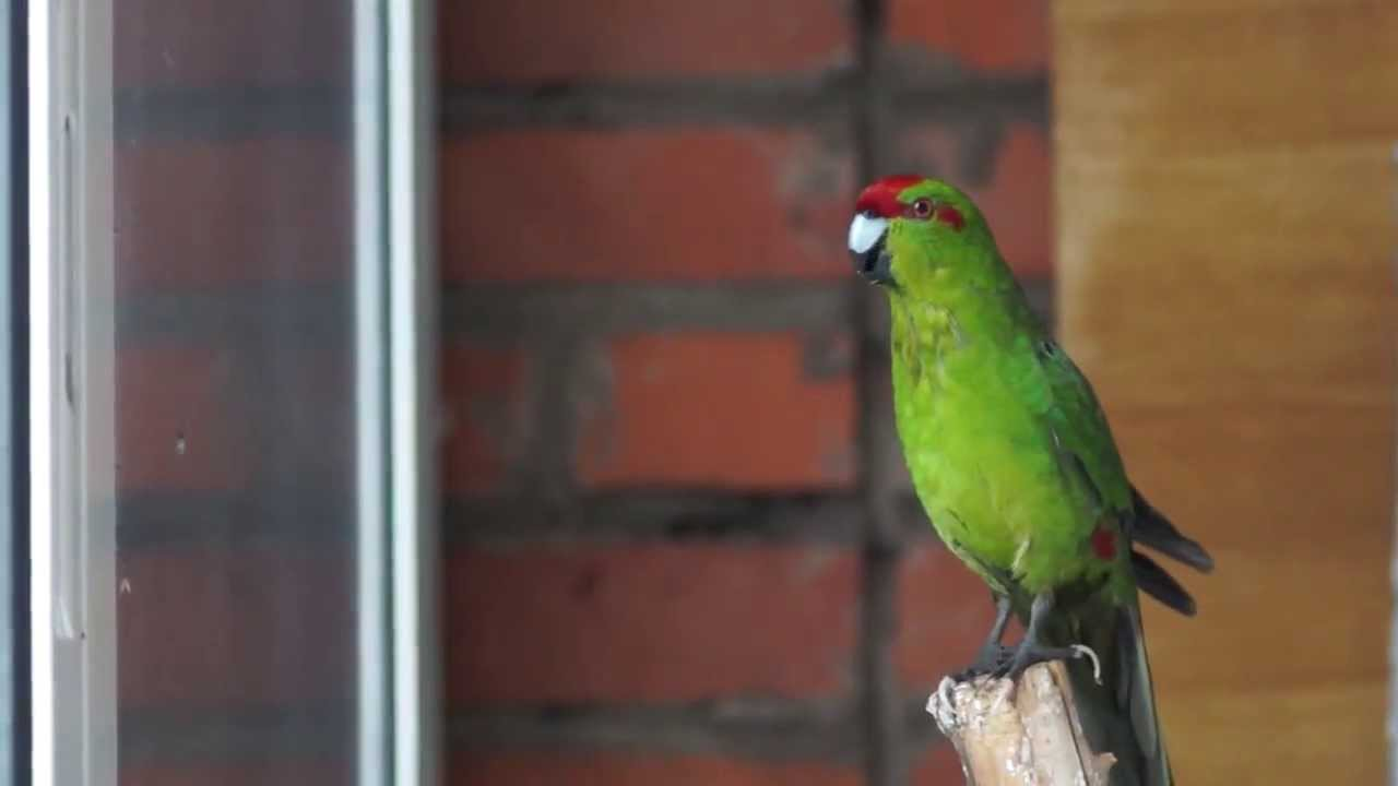 Попугаи какарики — гиперактивная обаятельность
