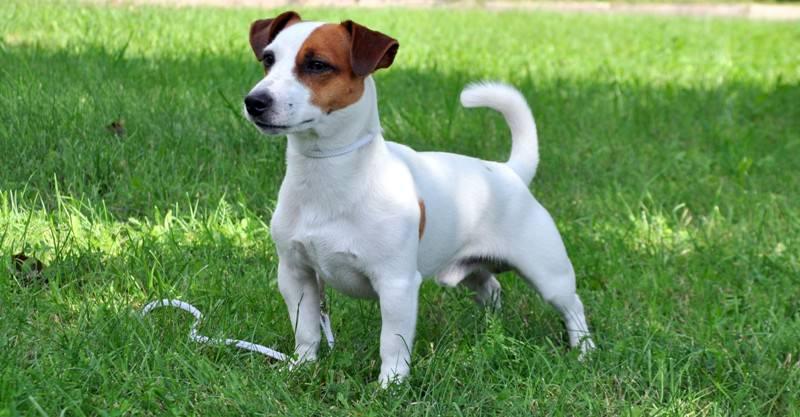 Порода собаки из фильма «Маска» и ее характеристики