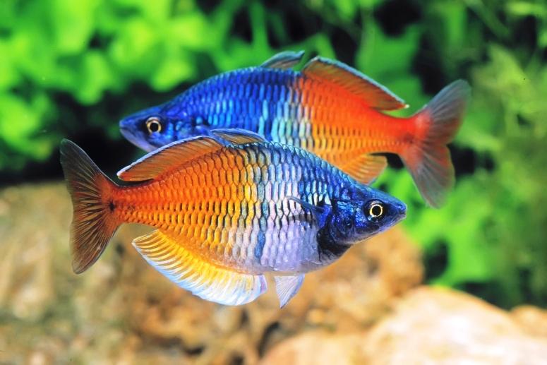 Рыбки радужницы — неоновое чудо домашнего аквариума