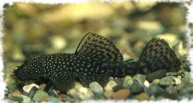Сколько будет жить аквариумный сом