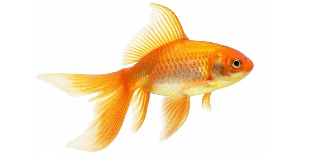 Золотая рыбка: разновидности, уход и содержание