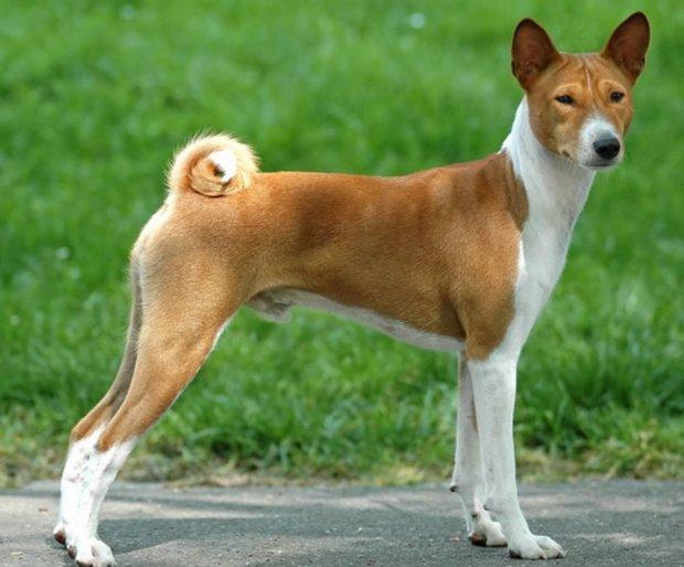 Собака, которая не лает: описание конго-терьера