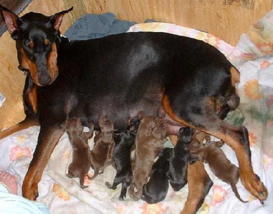 Сука немецкого пинчера — хорошая мать, она не только ухаживает за щенками, но и воспитывает их