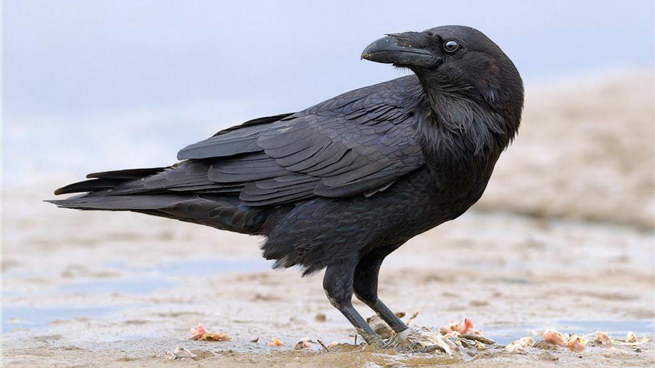 Удивительная птица ворон: сколько он может жить
