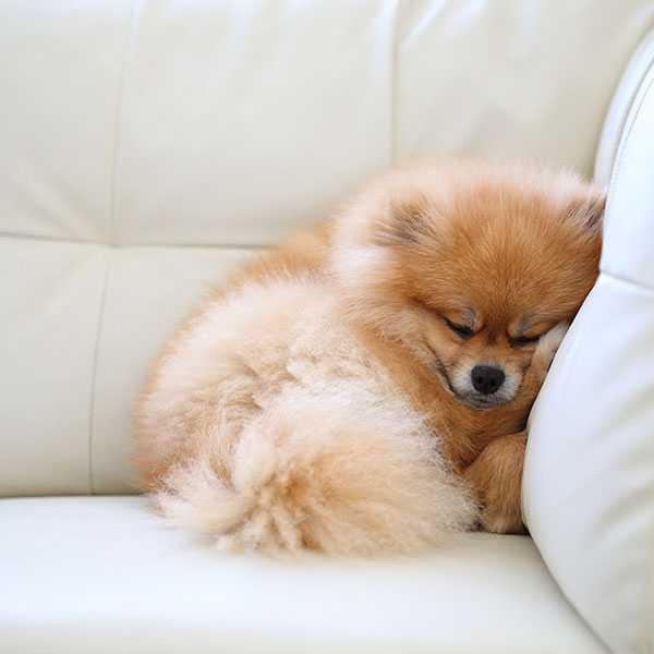 Уход и содержание щенка шпица – особенности породы собак