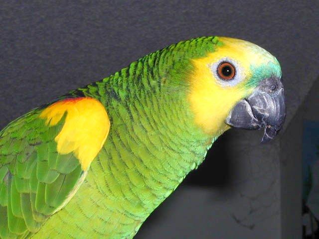 Венесуэльский амазон: что это за птица и как её содержать