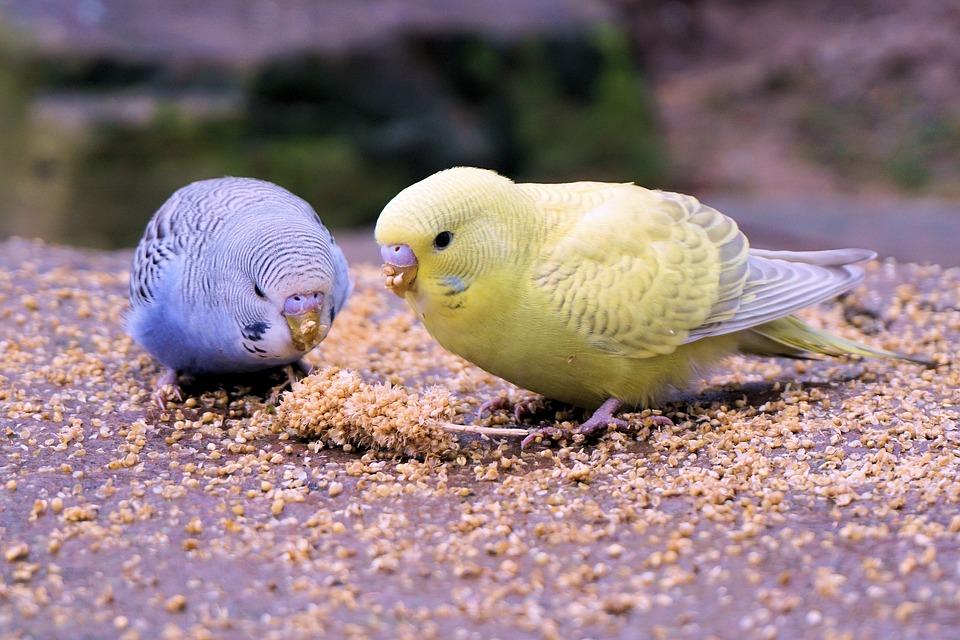 Все, что нужно знать о появлении и взращивании маленьких волнистых попугайчиков