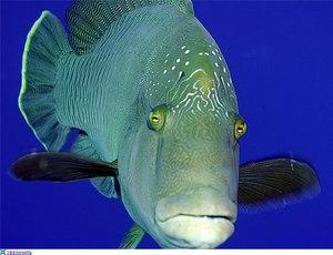 Сколько могут жить золотые рыбки