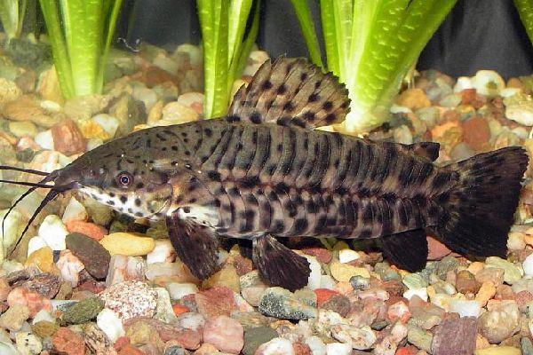 Содержание сома-таракатума в аквариуме