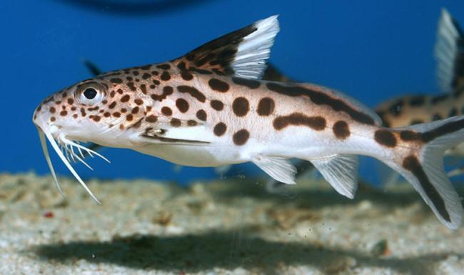 Аквариумная рыбка сом синодонтис