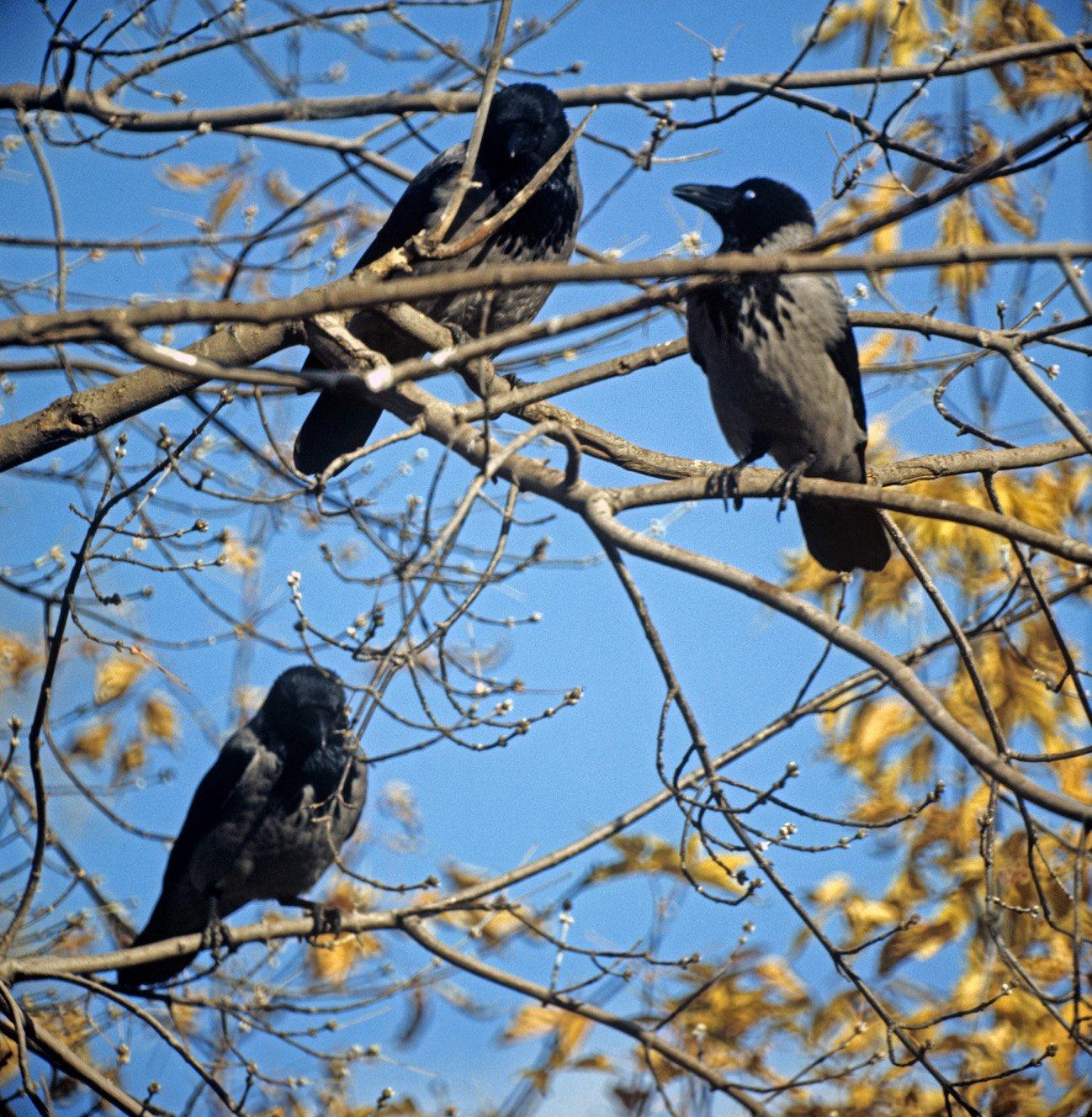 Почему вороны каркают?