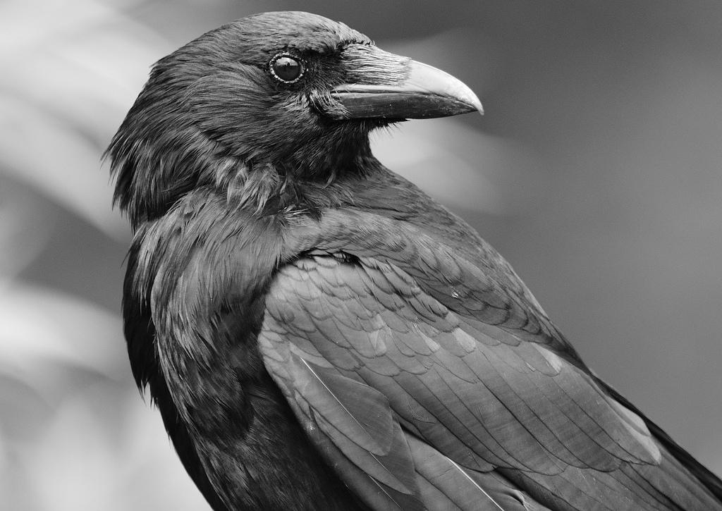 Приметы, связанные с вороньим карканьем