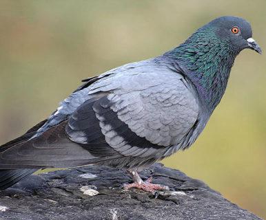 Почему голуби кивают головой?