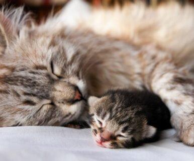Сколько котят может родить кошка?