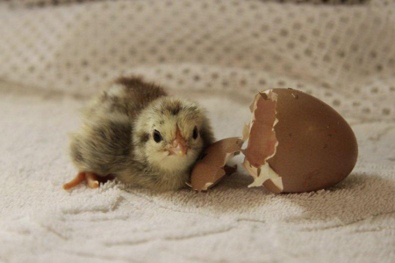 Почему не вылупляются цыплята в инкубаторе?