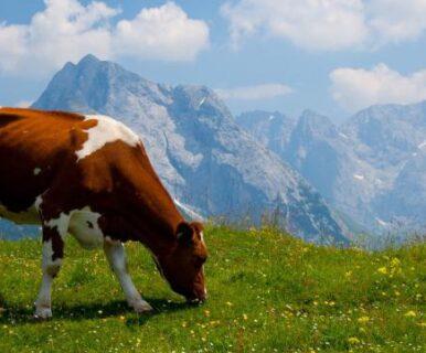 Почему корова какает лепёшкой?