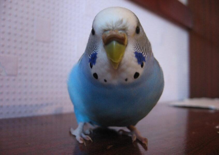 Почему у попугая слоится клюв