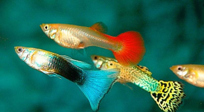Как кормить рыбок гуппи: полезные рекомендации