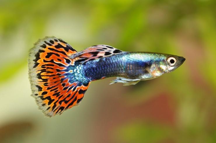 Рыбки гуппи уход и содержание