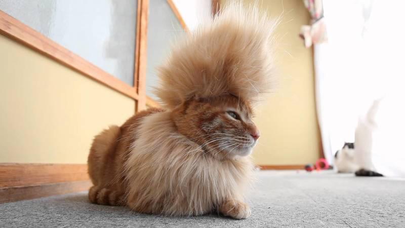 Смешная стрижка у кота