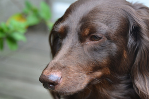 Почему у собаки могут слезиться глаза