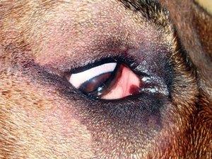 Заворот века у собаки - это врожденный дефект