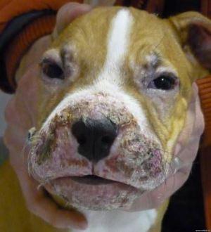 Аллергия у собак возникает на различные раздражители.