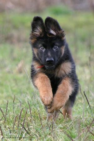 фото щенок овчарка