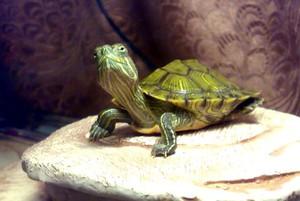 как узнать пол черепахи?