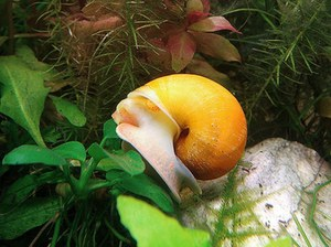 Что едят улитки в аквариуме