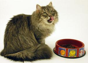 сколько раз кормить кошку в день