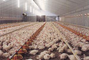 как выращивают куриц бройлеров на птицефабрике